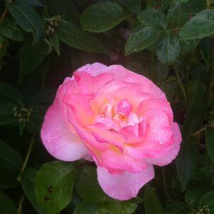 Rosen erblühen
